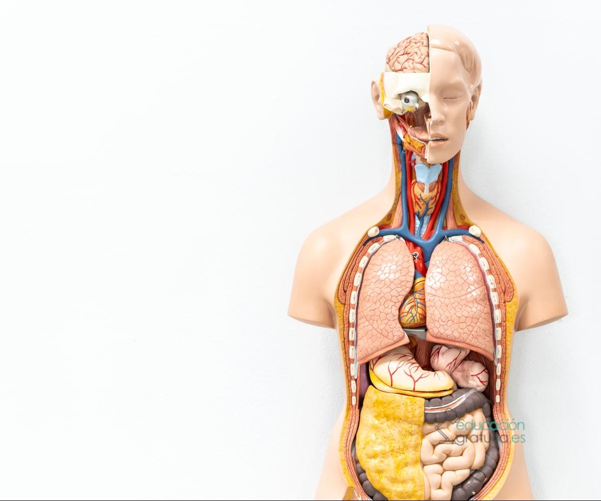 Anatomía Aplicada 1º De Bachillerato Contenidos Para 2021